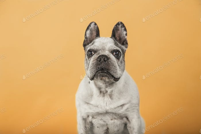 Old French Bulldog looking at camera isolated on yellow background.