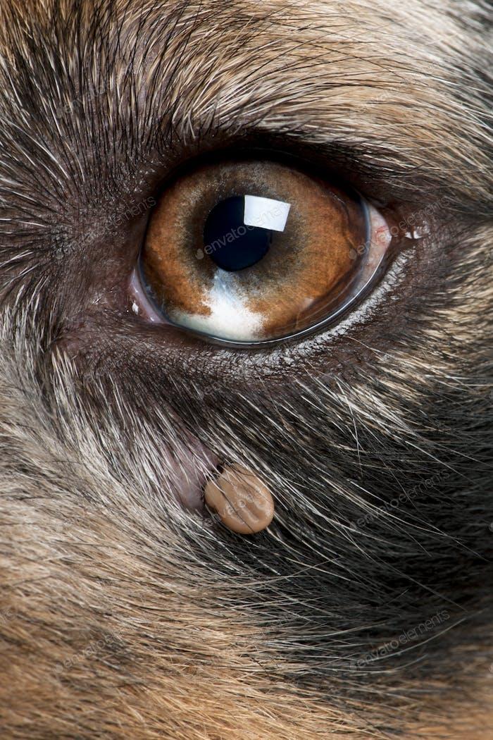 Close-up of Tick attached next to an Australian Shepherd's eye