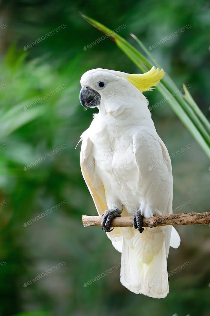 Schwefelhauben-Kakadu