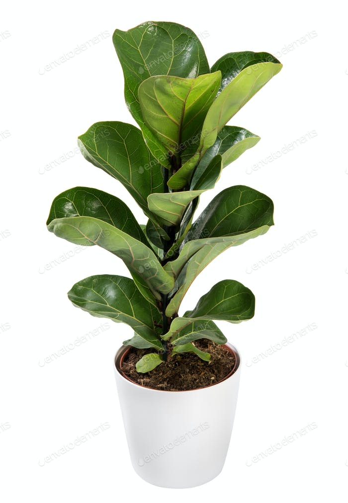 Baby broad leafed potted Ficus plant