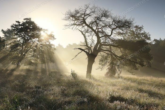 beautiful sunbeams at misty sunrise behind tree