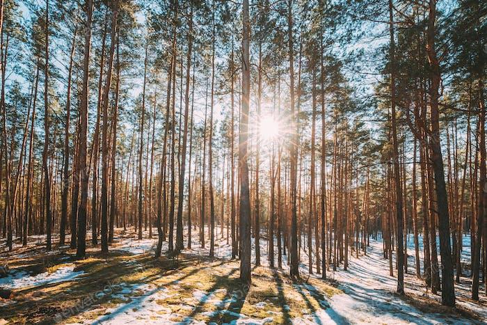 Beautiful Sunset Sun Sunshine In Sunny Early Spring Coniferous Forest. Sunlight Sun Rays Shine