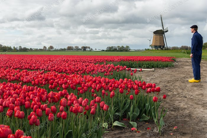 Farmer with his tulips in front of a windmill