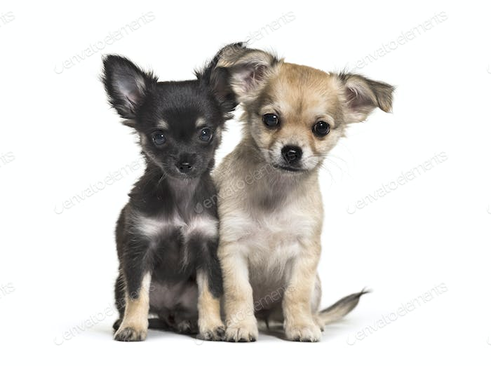 Two Chihuahua puppies, 11 weeks old, sitting, in front of white background
