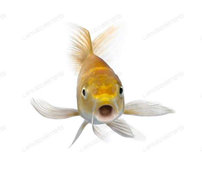 Yellow carp