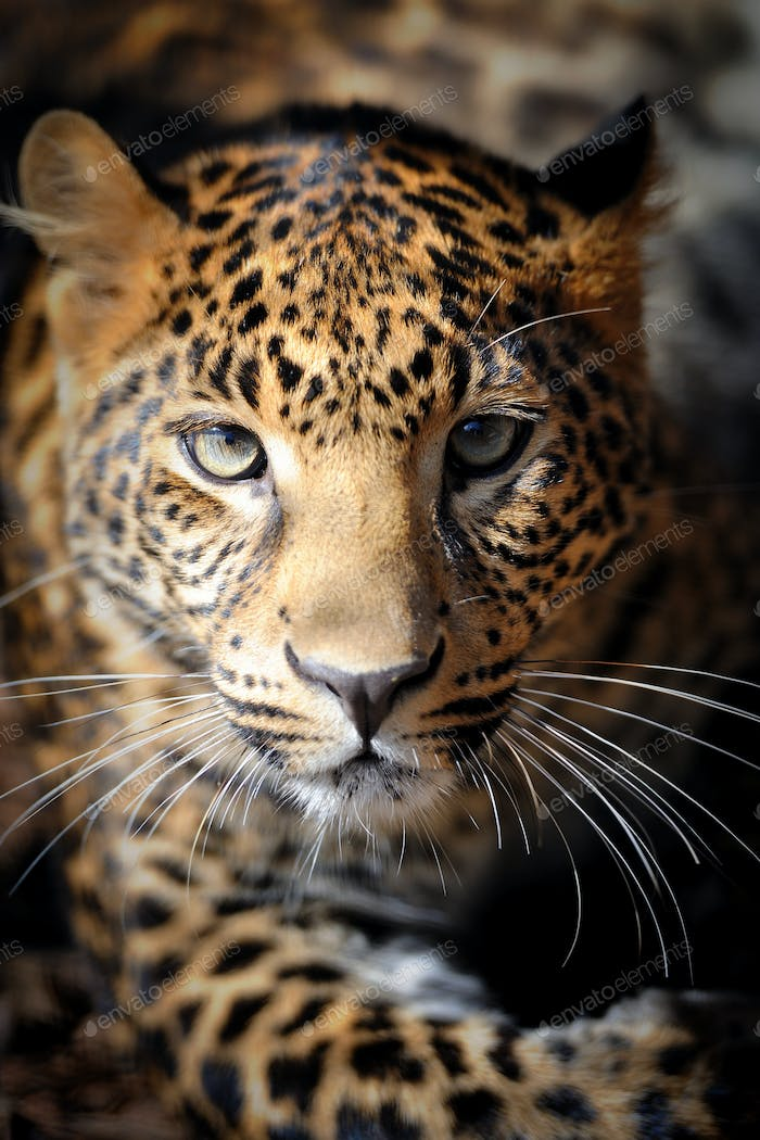 Close up young leopard portrait