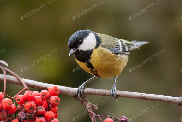 Great tit, parus major, on branch with red berries