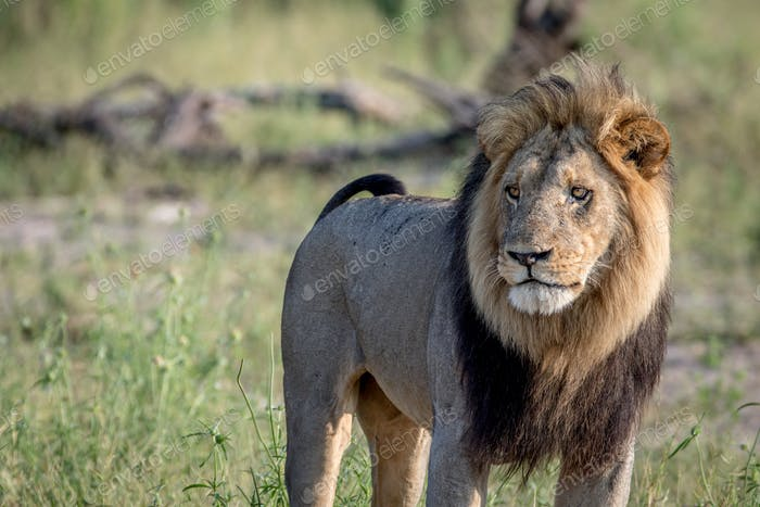 Big male Lion standing in the grass.
