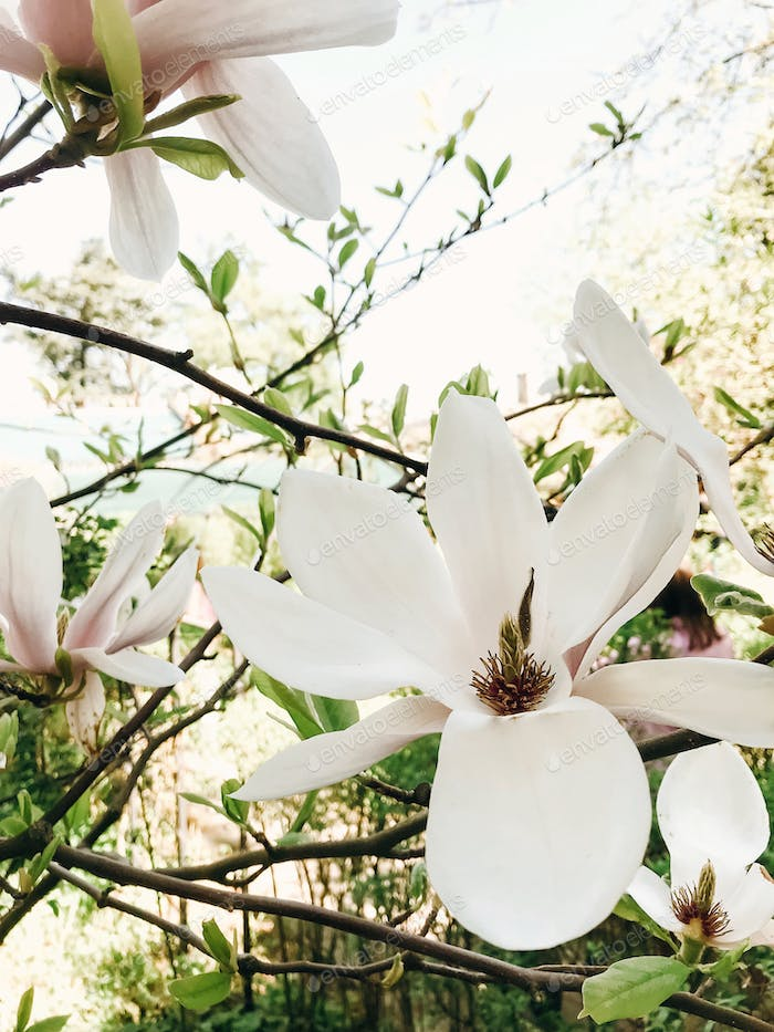 Beautiful white magnolia flower on branch