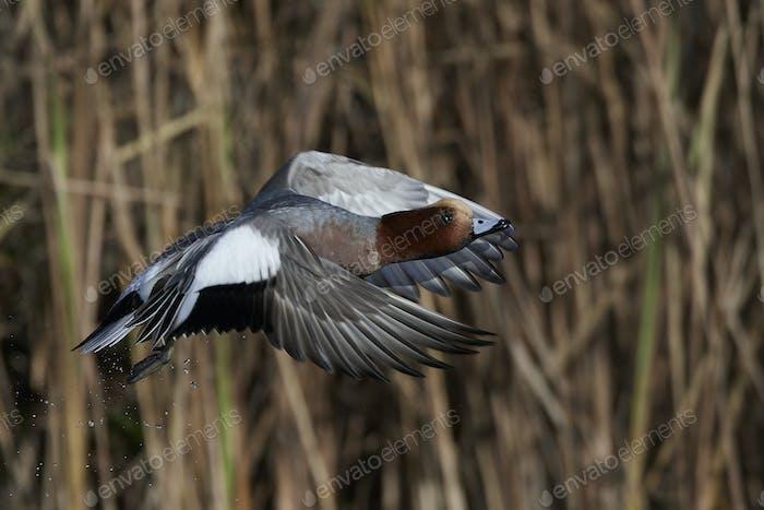 Eurasian wigeon (Mareca penelope)