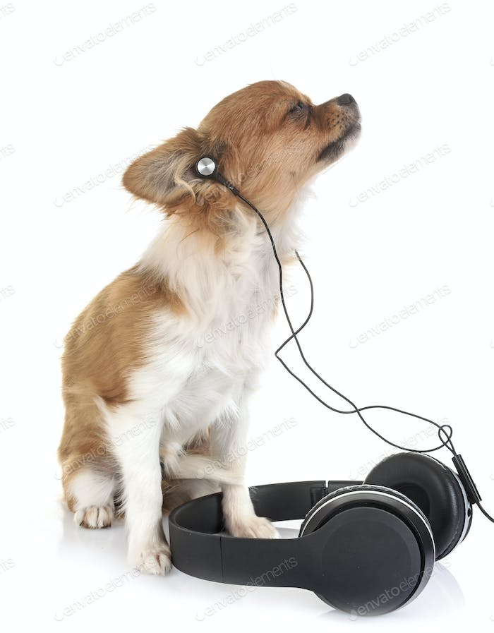 puppy chihuahua and music