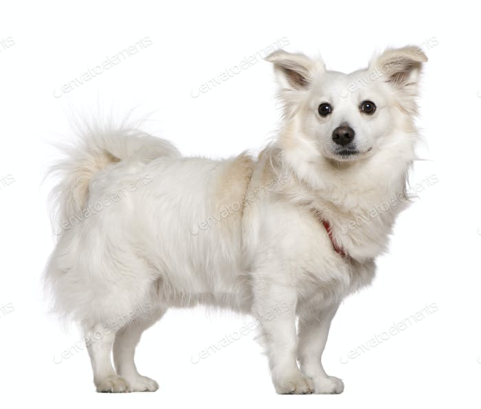 Pomeranian, 4 years old, standing in front of white background
