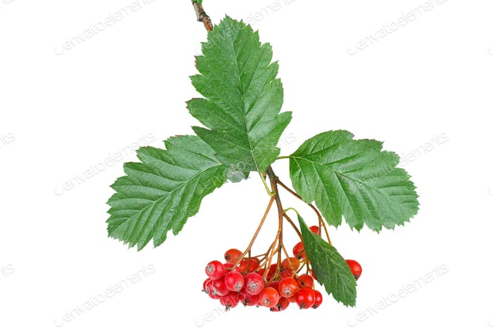 Branch of cultivated garden rowan with berries and leaves isolated on white background