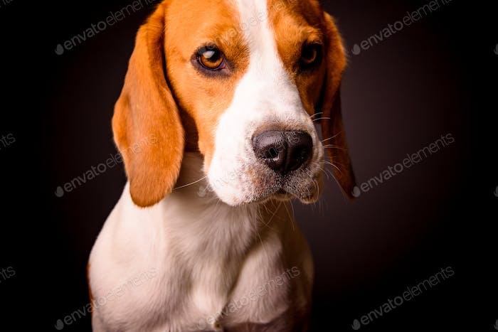 Beagle dog portrait on a black background isolated studio closeup detail like painting