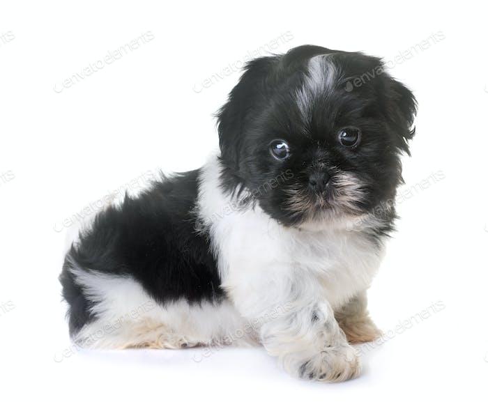 puppy shih tzu in studio