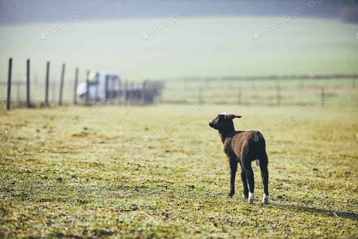 Lamb on the farm