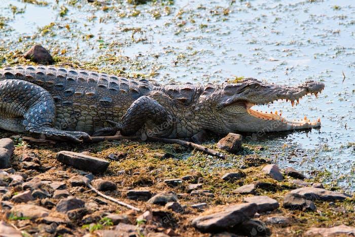 Snub Nosed Marsh Crocodile mugger crocodile (Crocodylus palustris