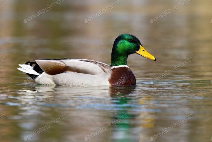 Colorful mallard swimming on a lake in autumn nature