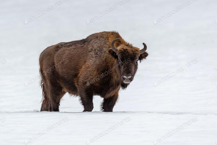 Europäisches Bison (Bison bonasus) im natürlichen Lebensraum