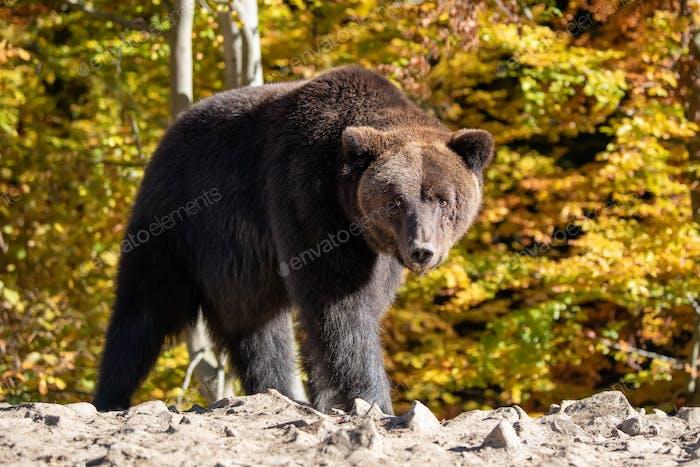 Bär (Ursus arctos) im Herbstwald