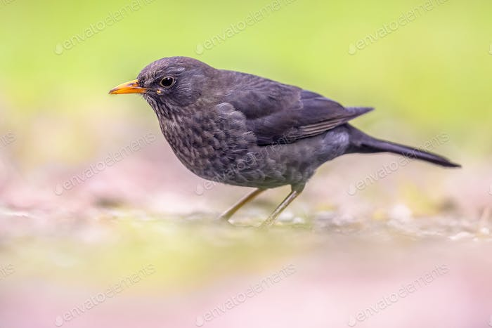 Male Blackbird on bright background