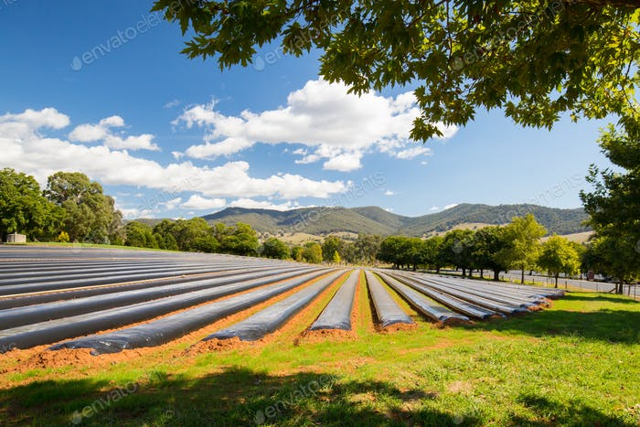 Australian Strawberry Farm Area