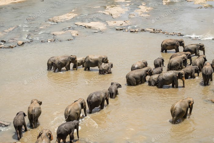 Big Asian elephants. Wild nature of Sri Lanka