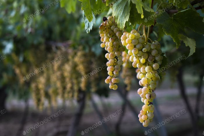 Sweet dessert grapes. Sunlight on grapes for eat.