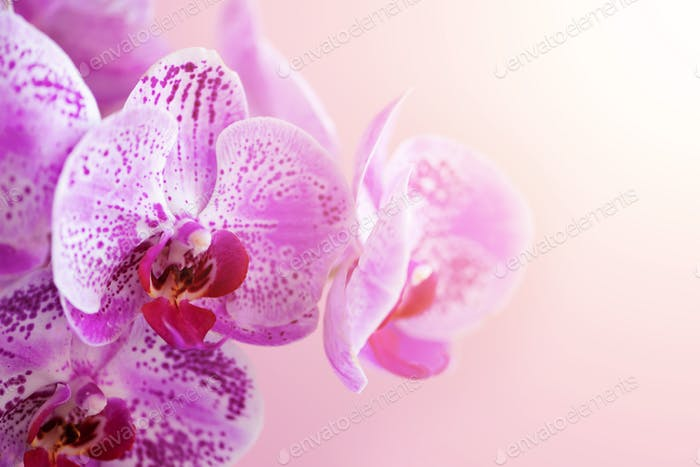 Violet orchid on pink background. Banner with copy space. Spring, woman day concept. Light bokeh