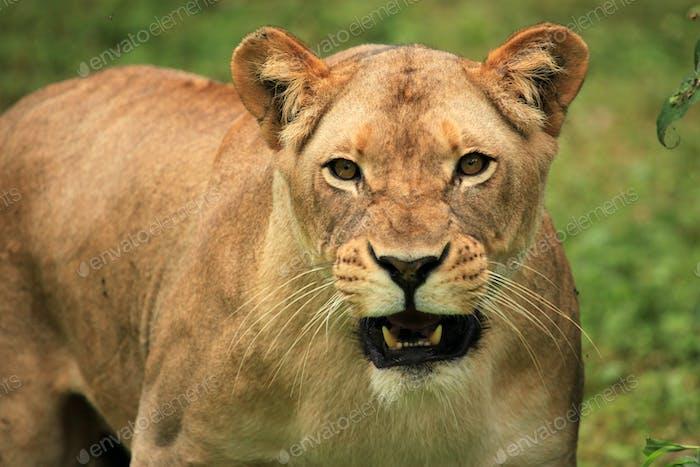 Lion - African Wildlife