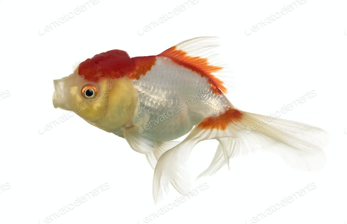 Lion's head goldfish opening mouth isolated on white