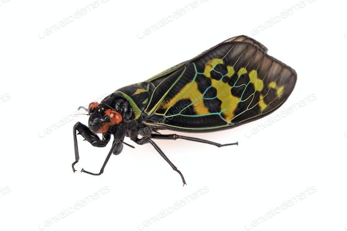 color cicada