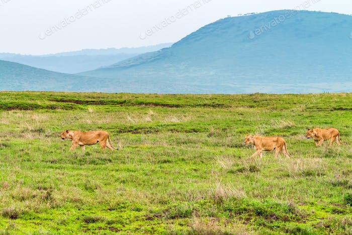 Mehrere Löweninnen jagen in Savanne