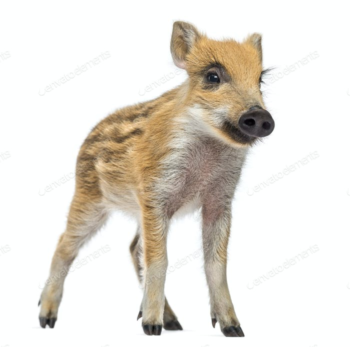 Wild boar, Sus scrofa, also known as wild pig, 2 months old,standing and looking away