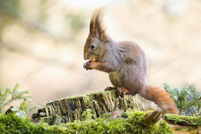 Adorable red squirrel sitting on a stump, holding a nut and feeding in forest
