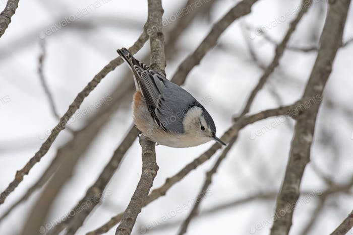 Nuthatch in a winter tree