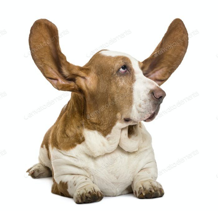 Basset Hound lying with ears up and looking rigth, isolated on white