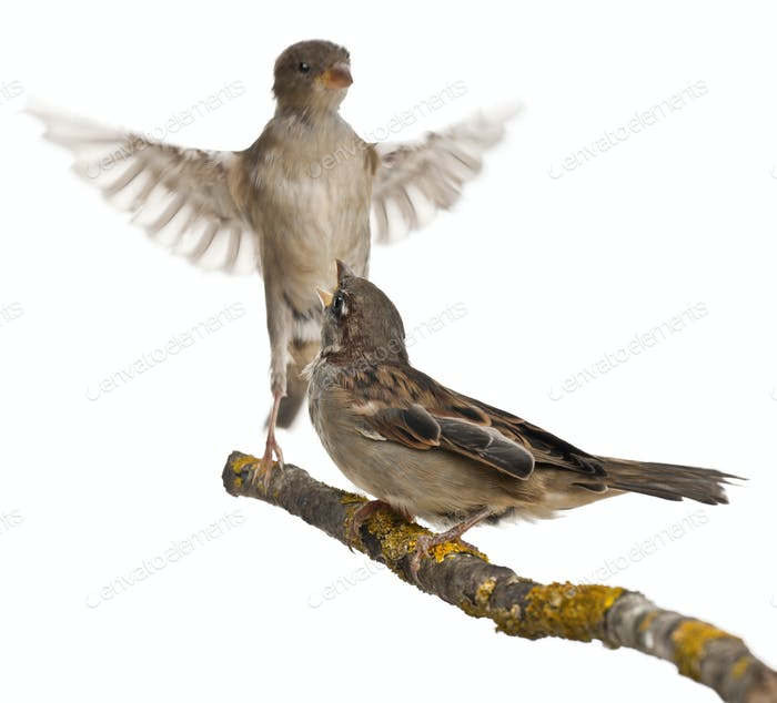 Male and Female House Sparrow, Passer domesticus, 4 months old, in flight and on a branch