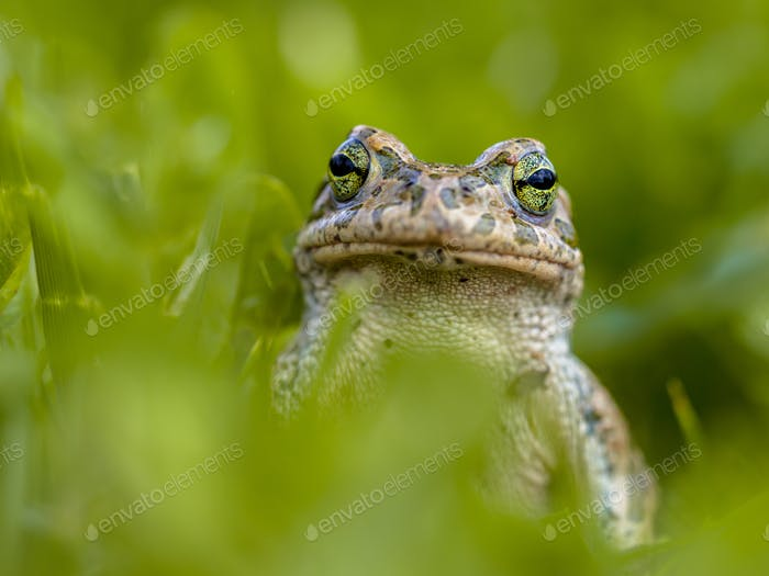 Impudent Green toad in Grass