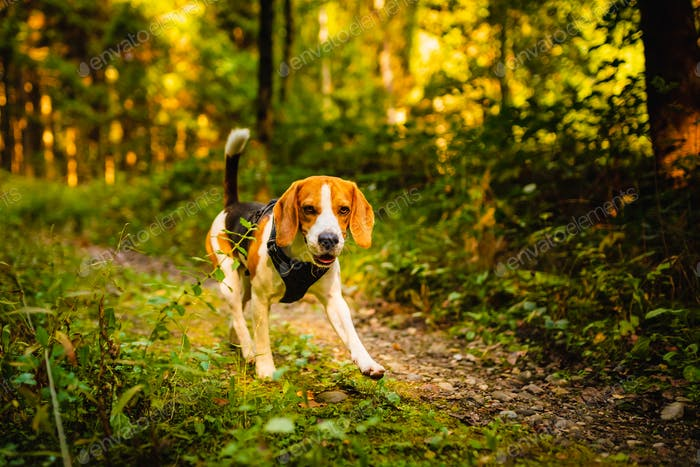 The beagle dog in sunny autumn forest. Alerted huond searching for scent and listening to the woods