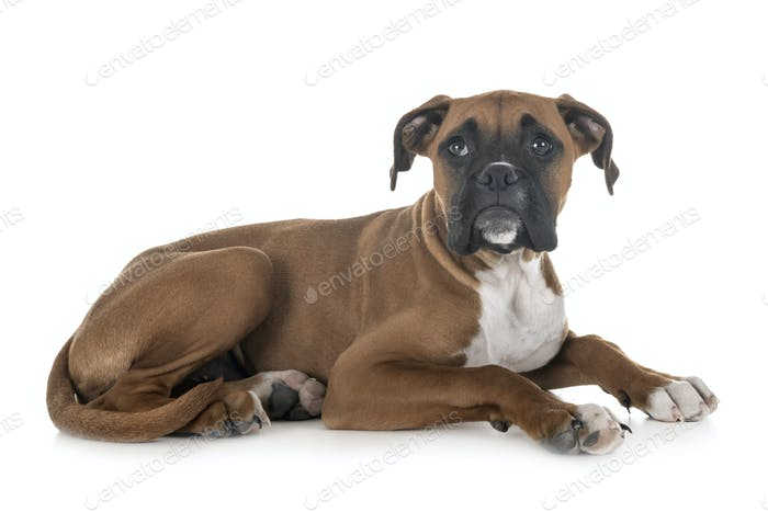 puppy boxer in studio