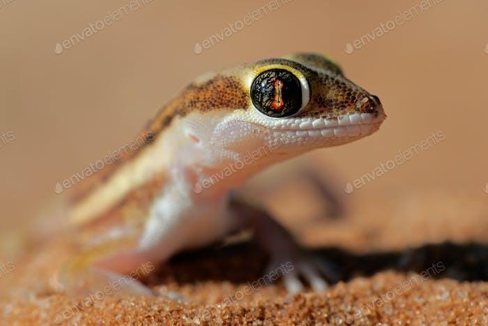 Kalahari ground gecko