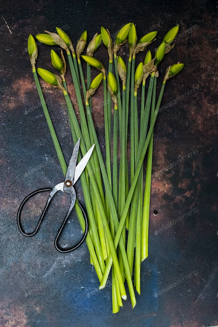 High angle close up of bunch of daffodils and pair of scissors.
