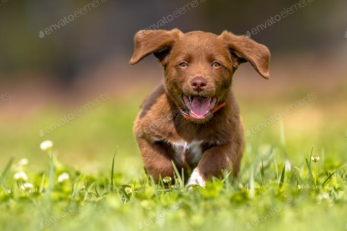 Little puppy running with flapping ears