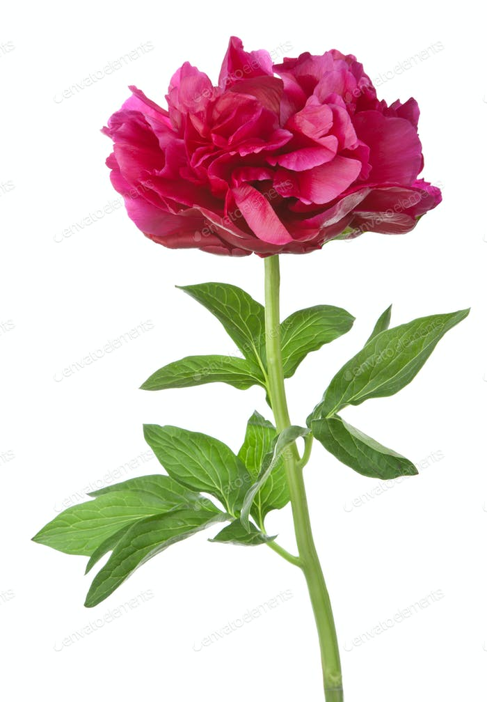 red peony flower isolated