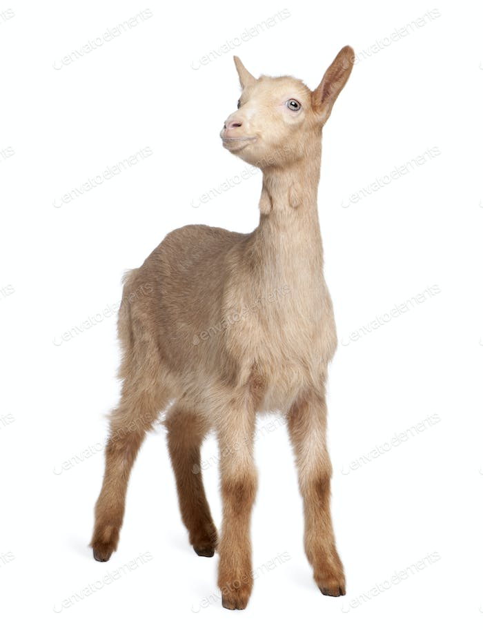 Young brown Goat (2 months old)
