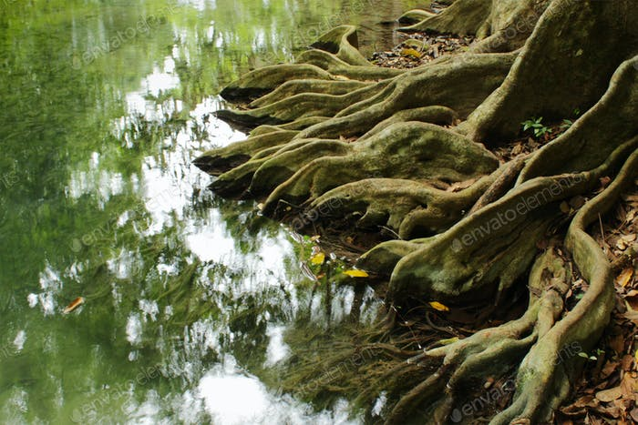 Sistema radicular de un Árbol en Bosque tropical