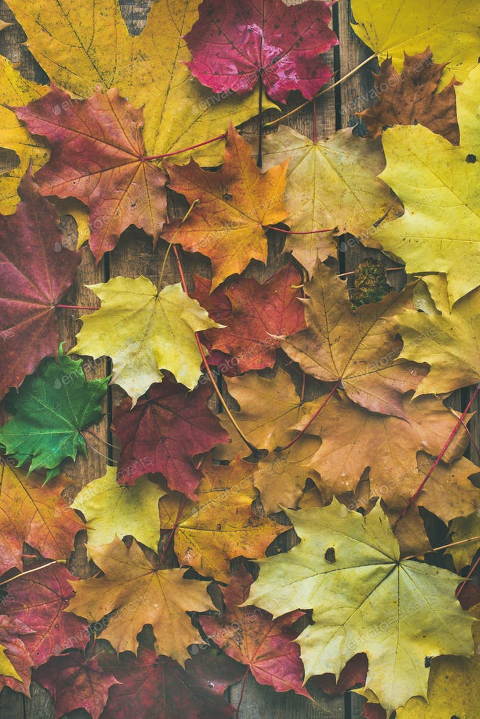 Flat-lay of colorful fallen maple leaves on wooden background