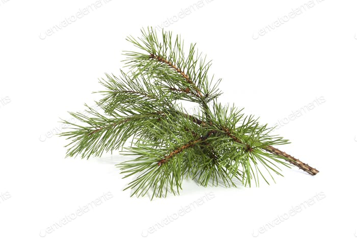 Scots pine branch.
