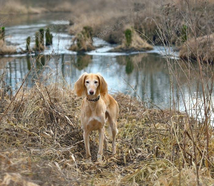 Beautiful borzoi dog Saluki